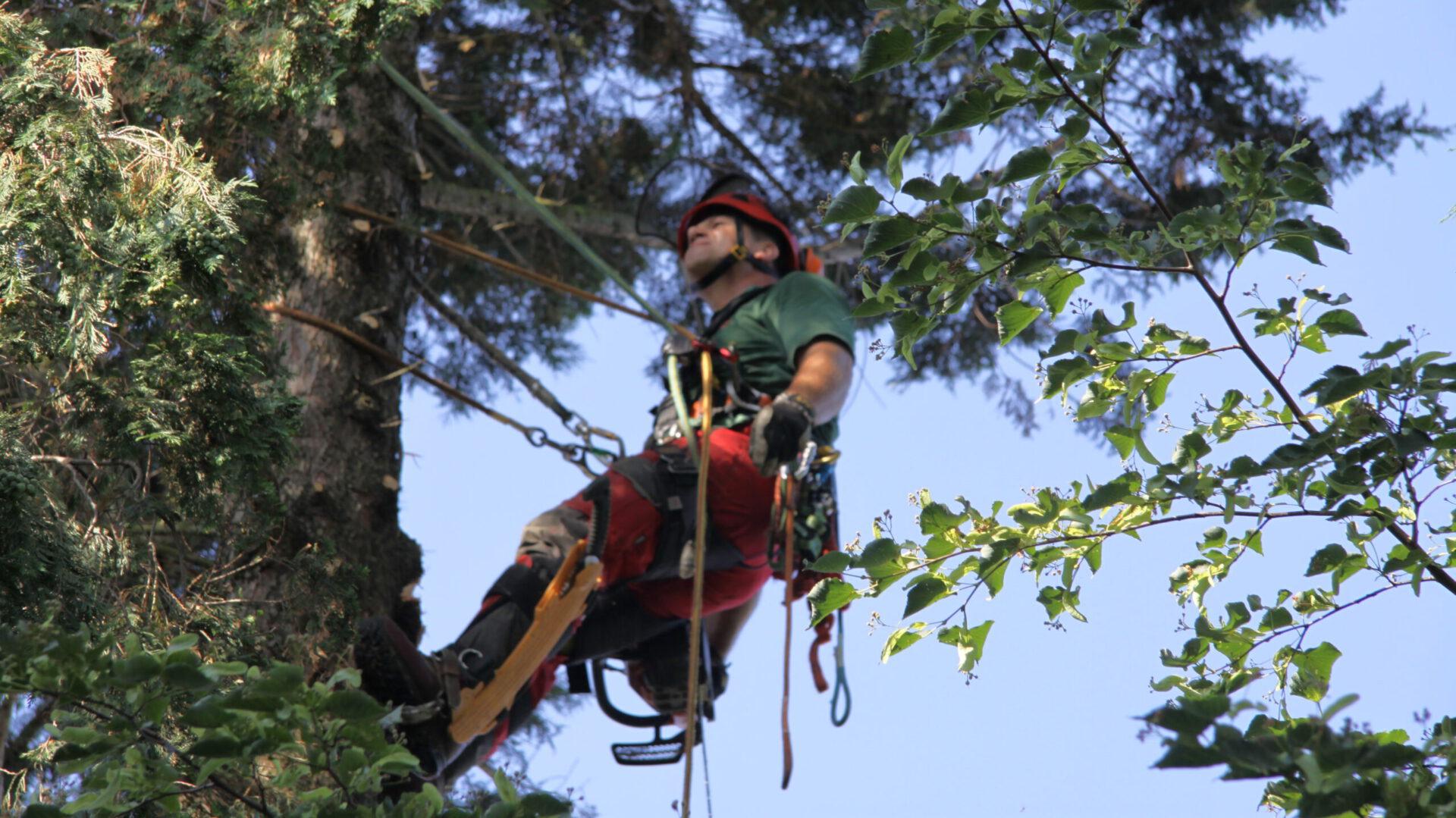 Baumpflege in Seilklettertechnik